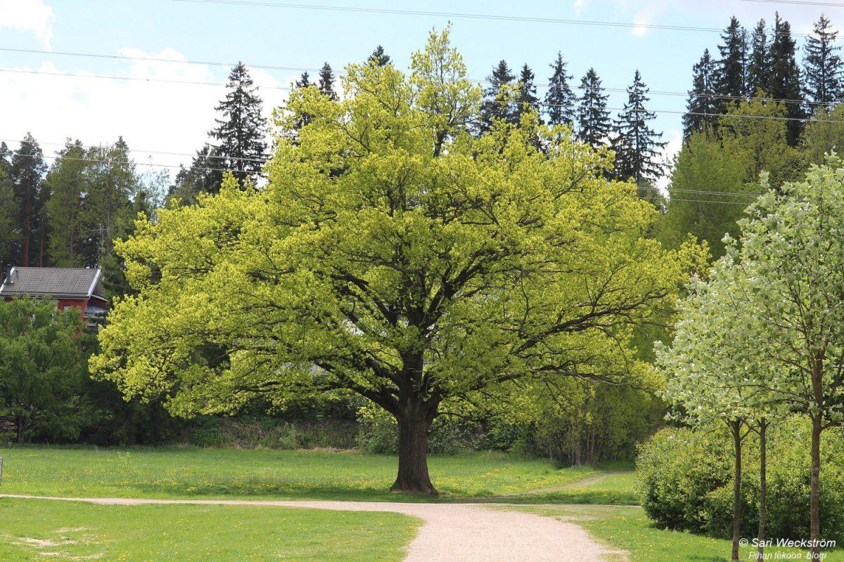 Tavallinen metsätammi vai kartiotammi – iso kokoero