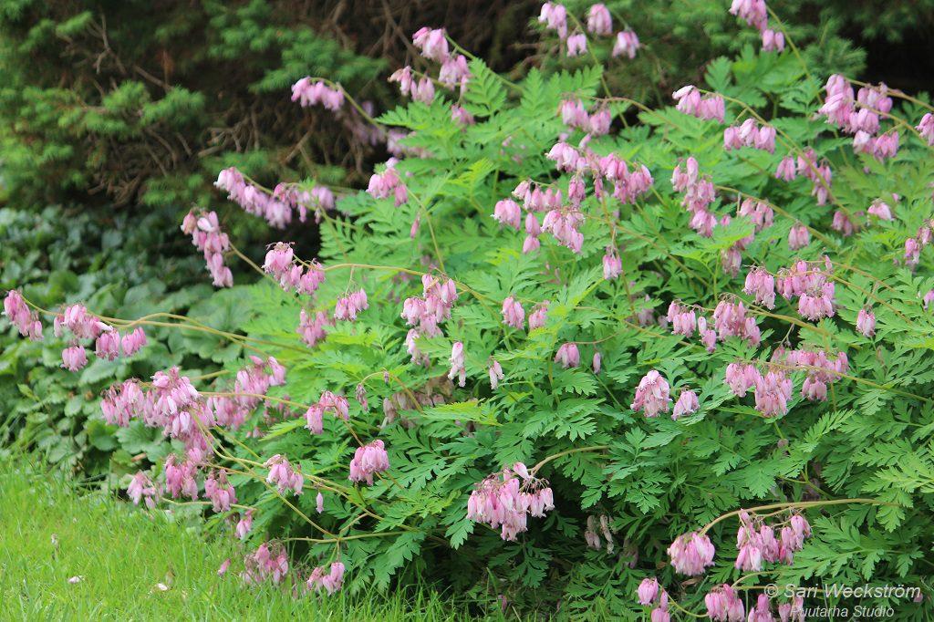 Kuvassa hennon vaaleanpunakukkainen kesäpikkusydän, joka lehdistö kaartuu kauniisti nurmikon reunalla.