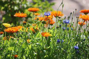 Paljonko multaa viljelylaatikkoon, istutuslaatikkoon, lavakaulukseen ja kasvimaahan kun kasvattaa kehäkukkaa ja ruiskaunokkia. Kuvassa kukat auringonpaisteessa.