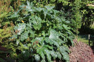 Paljonko multaa viljelylaatikkoon, istutuslaatikkoon, lavakaulukseen ja kasvimaahan, kun kasvattaa kesäkurpitsaa. Kuvassa reheväkasvuinen kesäkurpitsa