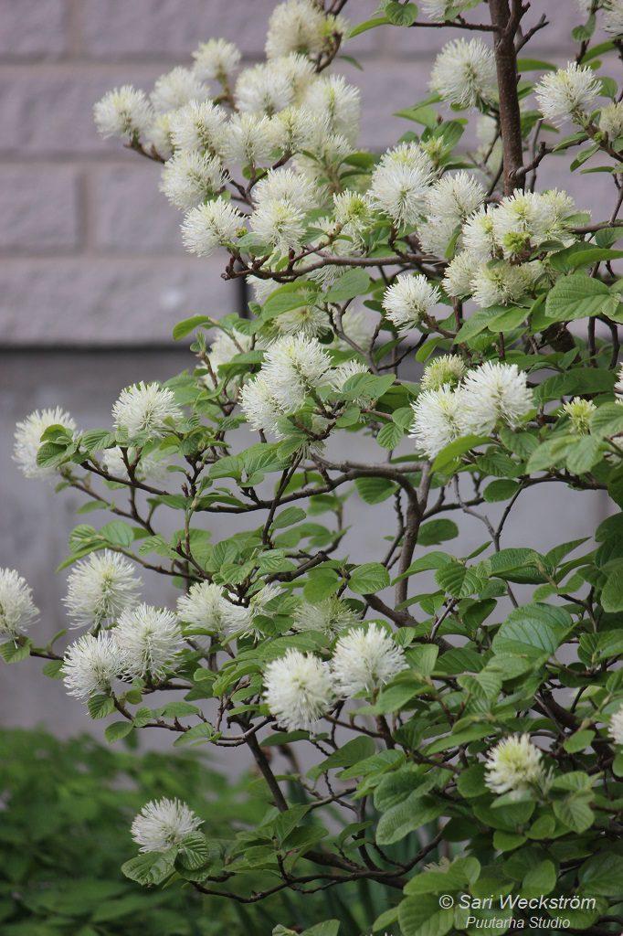 Höyhenpensaan ruskeat oksat ovat sirot ja kukat valkoiset tupsut.