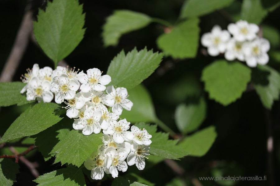 Orapihlajan valkoiset kukat ovat terkuissa ja niissä on pitkät haituvaiset heteet.