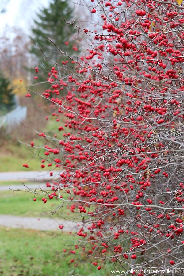 Korkeassa orapihlajan oksat ovat täynnä punaisia marjoja. Aitaa ei ole leikattu muotoon vaan oksat ovat saaneet kasvaa vapaasti.