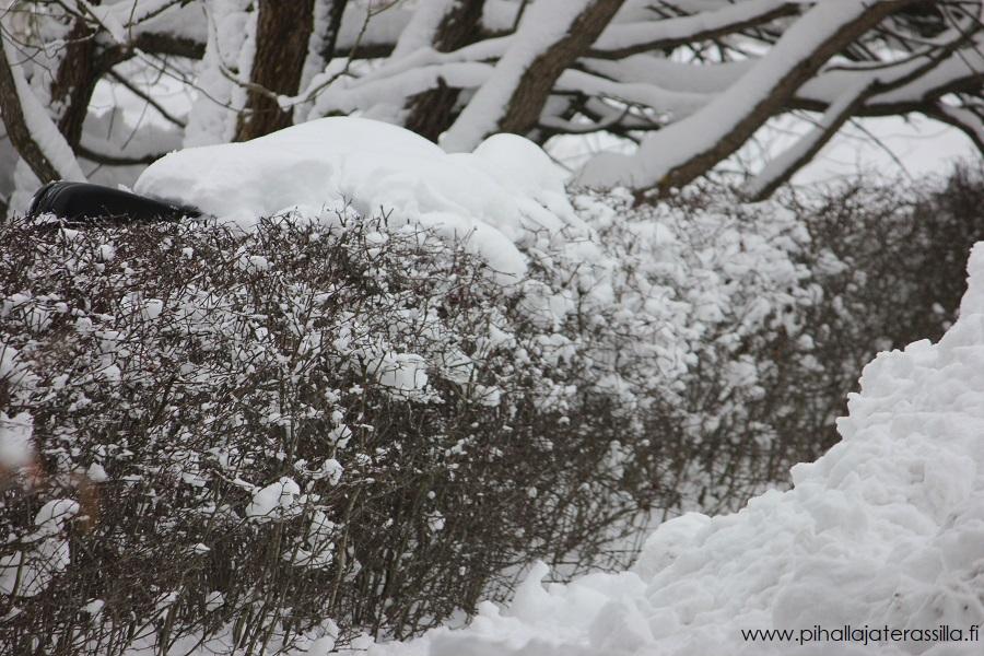 Vanha muotoon leikattu orapihlaja-aita on tiivis ja täynnä pientä oksaa. Sen päälle on kerääntynyt lunta, jota pudotetaan lapiolla.