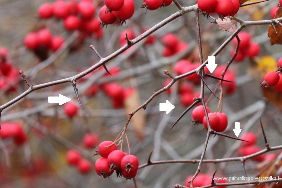 Kuvassa punaisia orapihlajan marjoja ja pitkiä piikkejä. Oksissa ei enää ole lehtiä, koska on myöhäinen syksy.