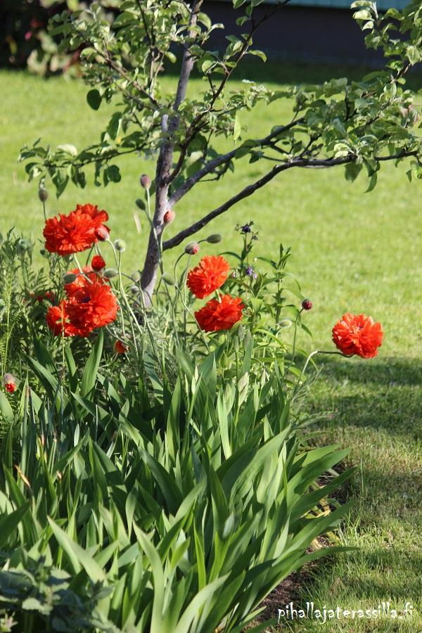 Pihan tyyli mietinnässä eli sopiiko vanhalle pihalle kukkarunsautta ja pitkää kukinta-aikaa takaavat perennaistutukset