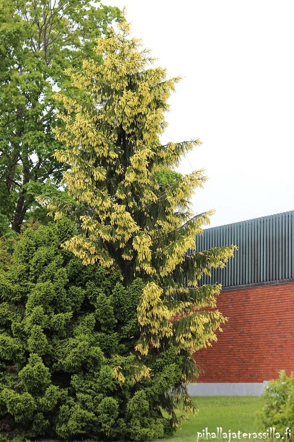 Kultakuusi on alkukesällä keltaisen kirjava, koska sen uudet kerkät ovat kellertävät. Siitä kasvaa iso puu.