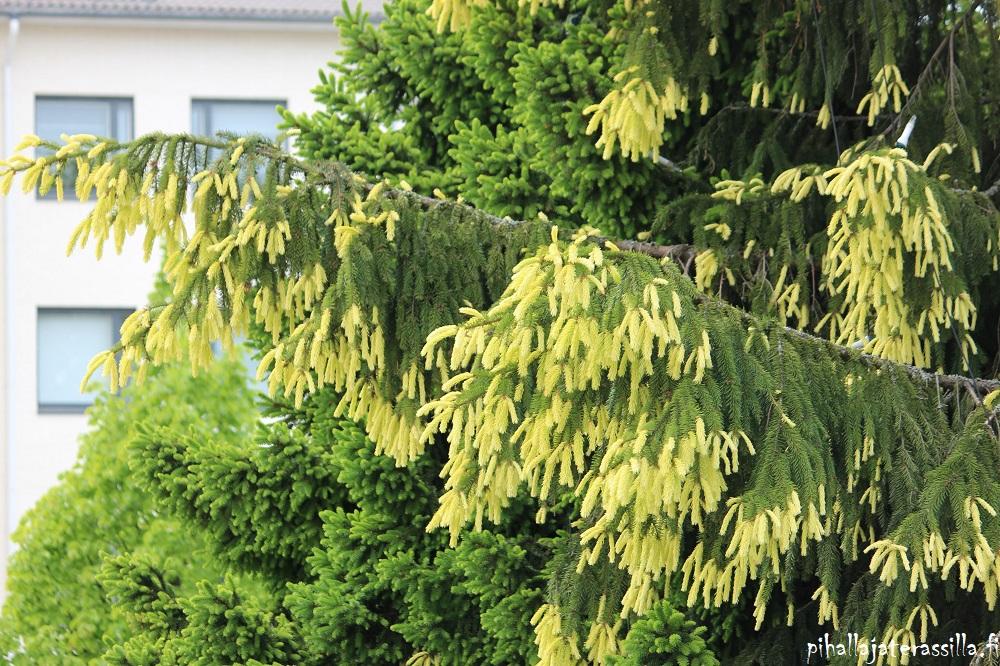 Kultakuusi – metsäkuusen erikoismuoto