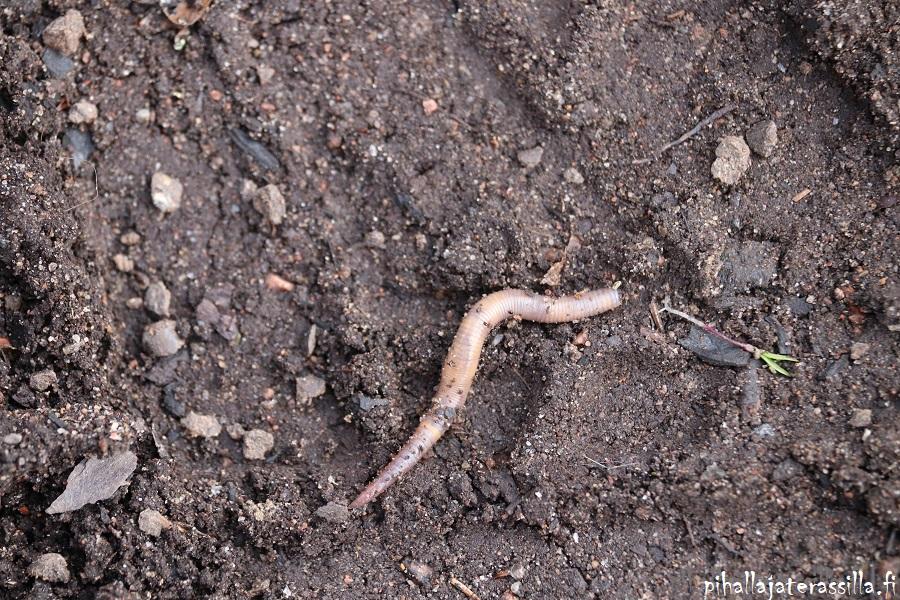 Elävä maaperä eli maasta löytyy matoja. Kuvassa myös mustia biohiilen paloja, ja mato.