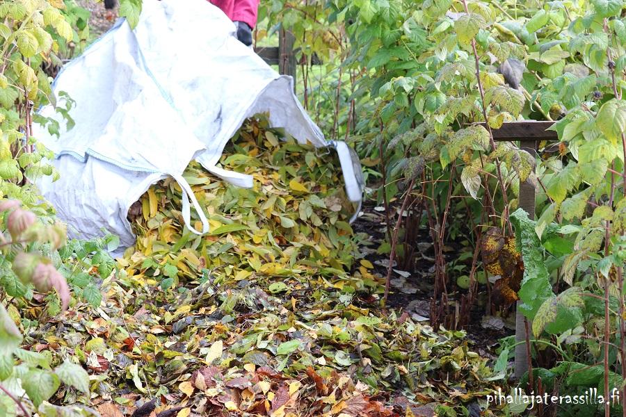 Elävä maaperä pysyy elävä, kun maan pinnalle on jätetty syksyllä puiden lehdet. Kuvassa säkistä kaadetaan puiden lehtiä pensasrivien väliin.