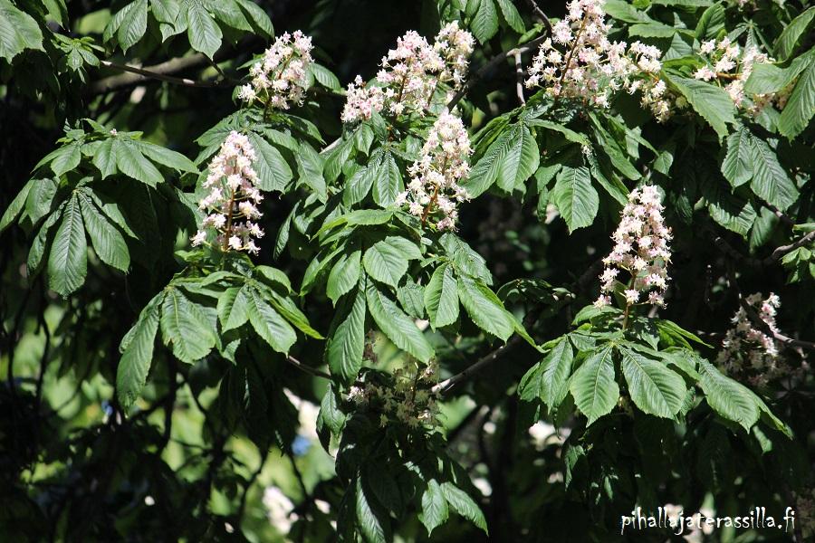 Hevoskastanja on vuoden puu. Sillä on komeat valkoiset kukkatertut sekä isot lehdet.