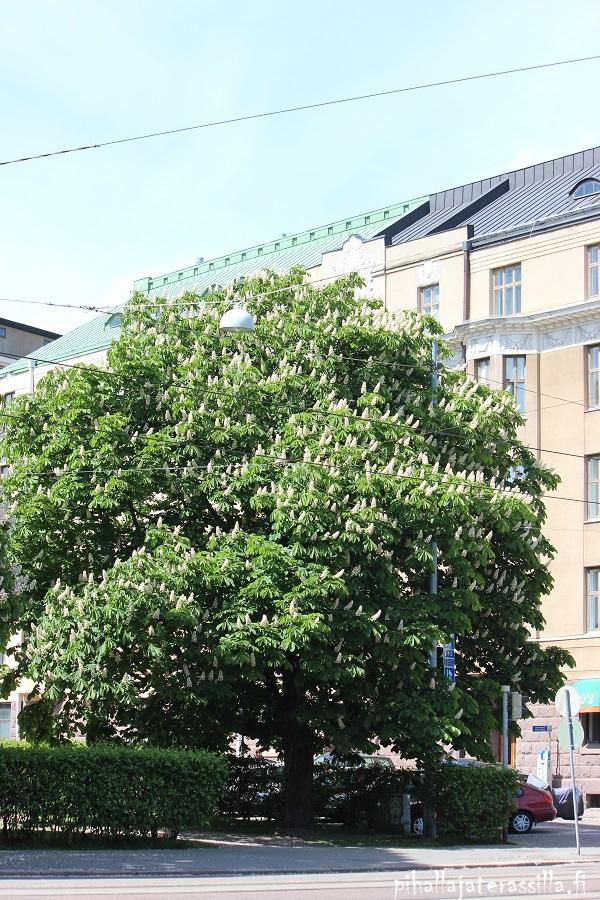 Iso puu, jossa on paljon valkoisia näyttäviä kukkaterttuja. Kuva on Helsingistä Mannerheimintien vierestä ja takana näkyy vanhat kerrostalot.