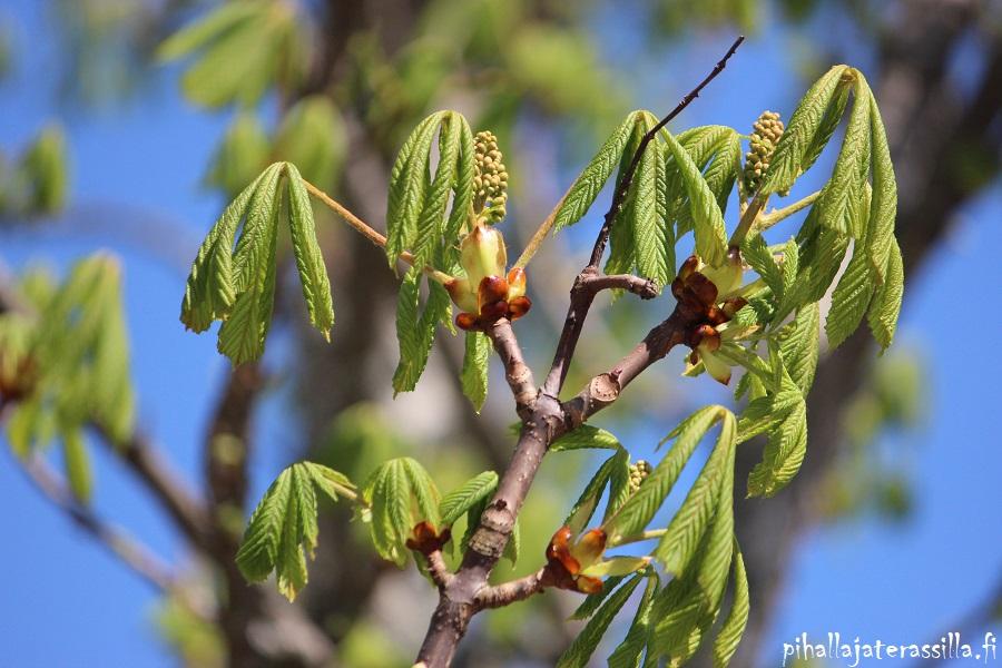Hevoskastanjan kasvavat lehdet ja vielä pienet vihreät nupputertut.