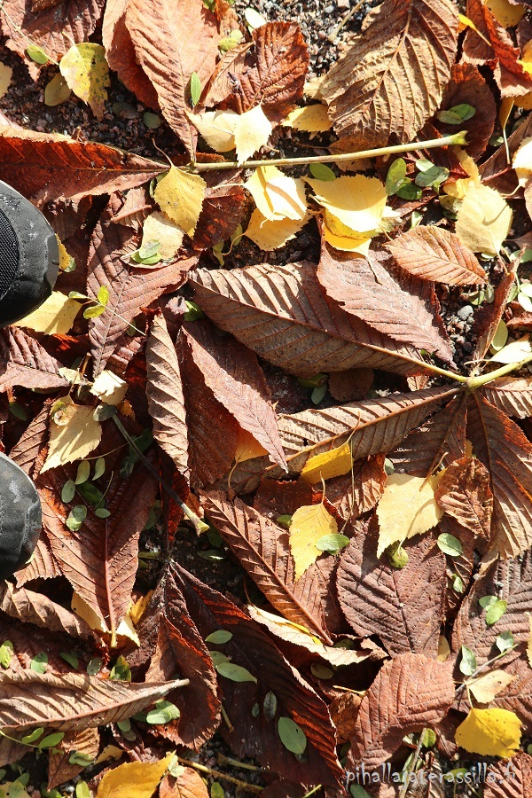 Ruskeita isoja hevoskastanjan lehtiä ja seassa myös keltaisia koivunlehtiä. Kuvassa näkyy myös mustat lenkkareiden kärjet.