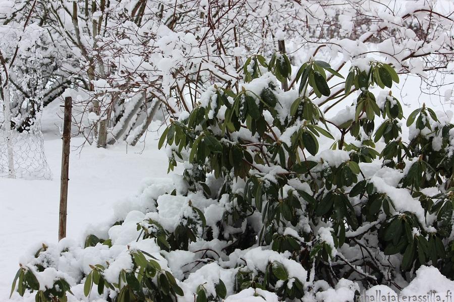 Piha talvella kaunis eikä vain kesällä. Kuvassa lunta vihreälehtisen alppiruusun lehdillä