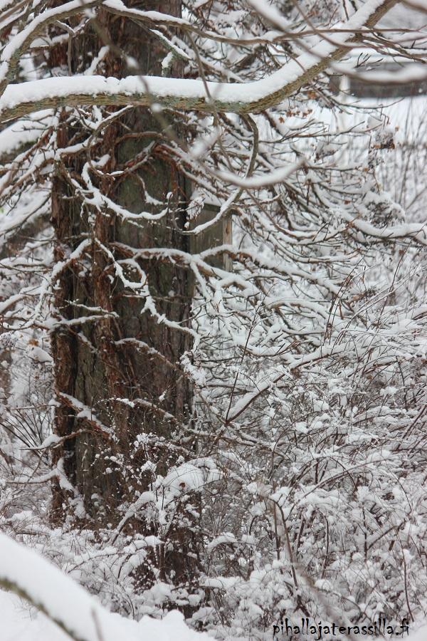 Piha talvella kaunis eikä vain kesällä. Kuvassa lunta köynnöshortensian ruskeilla oksilla. Köynnöshortensia kasvaa männyn runkoa pitkin.