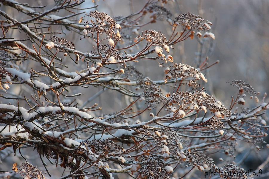 Piha talvella kaunis eikä vain kesällä. Kuvassa lumi ja auringon paiste köynnöshortensian ruskeilla oksilla. Oksissa on kauniita kuivuneita kukkaterttuja.