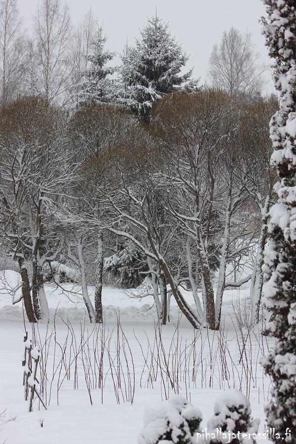 Piha talvella kaunis eikä vain kesällä. Kuvassa lunta isojen terijoensalavien ruskeilla oksilla. Taustalla koivuja ja kuusia ja etualalla puutarhavadelmaa.