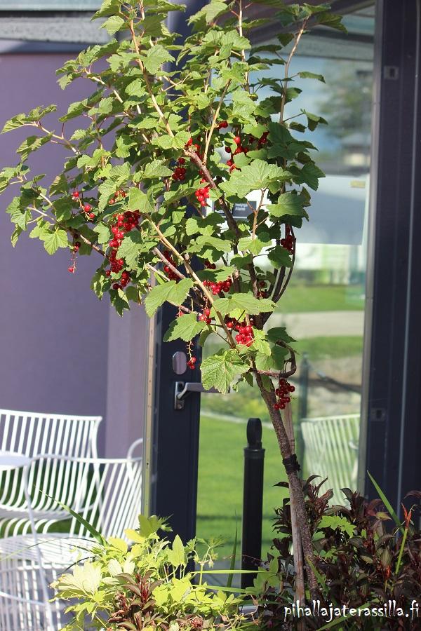 Kuvassa isossa ruukussa kasvaa rungollinen punaherukka, jossa on punaiset marjat. Sen alla kasvaa erilaisia perennoja.
