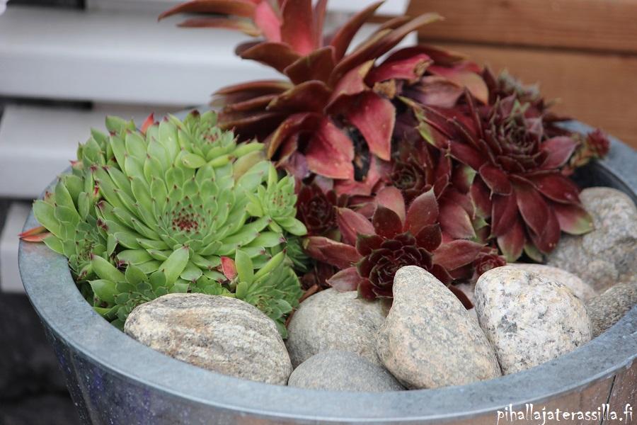 Monivuotiset kasvit ruukussa terassilla