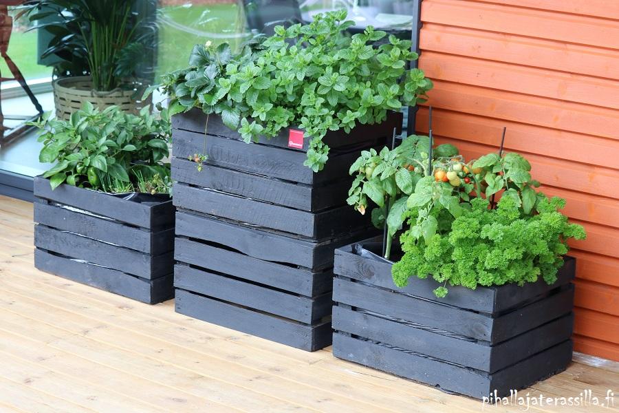 Monivuotiset kasvit ruukussa tuovat viihtyisyyttä terassille. Kuvassa puuterassilla, seinän vierellä; on mustaksi käsiteltyjä puulaatikoita, joissa kasvaa yrttejä.
