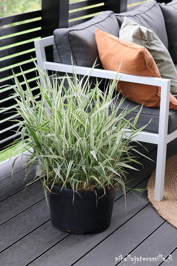 Monivuotiset kasvit ruukussa tuovat näin viihtyisyyttä terassille. Kuvassa terassilla mustassa muoviruukussa kasvaa valkokirjavalehtinen heinä. Se on täyttänyt jo koko ruukun.