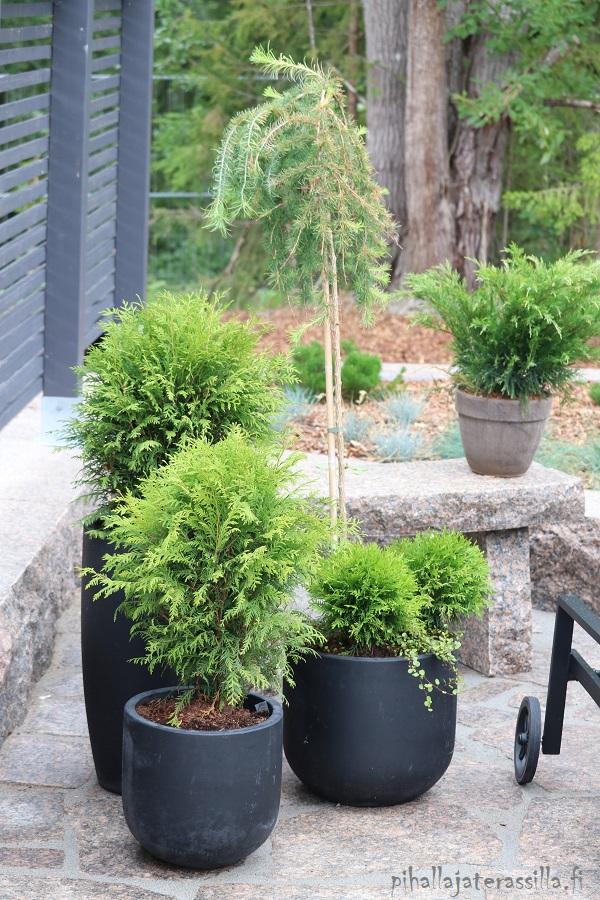 Monivuotiset kasvit ruukussa tuovat näin viihtyisyyttä terassille. Kuvassa kiveyksellä tummat pyöreät ruukut, joissa on erikokoisia pallotuijia. Niiden takana rungollinen pikkupuu riippalehtikuusi ja takana pöydällä ruukussa rohtokataja.