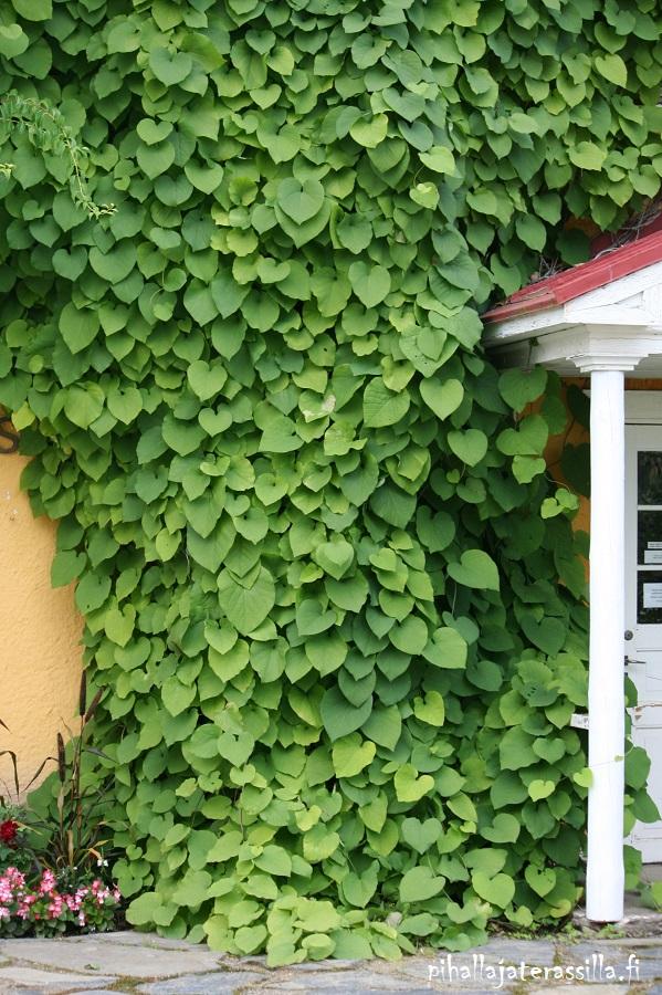 Piippuköynnös viihtyy varjossa ja sen lehdistö on hyvin peittävä, kuten kuvassa. Köynnöksen vihreät lehdet peittävät lähes koko seinäpinnan.