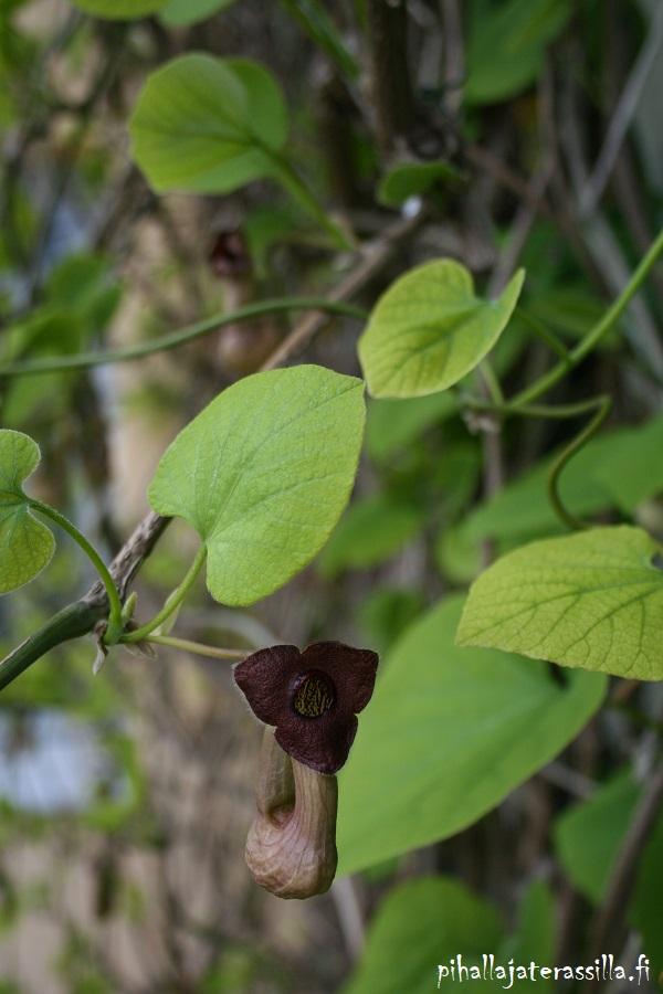 Piippuköynnös kukki erikoisin kukin keväällä ennen lehtien puhkeamista. Kuvassa yksi viininpunainen piippua muistuttava kukka.