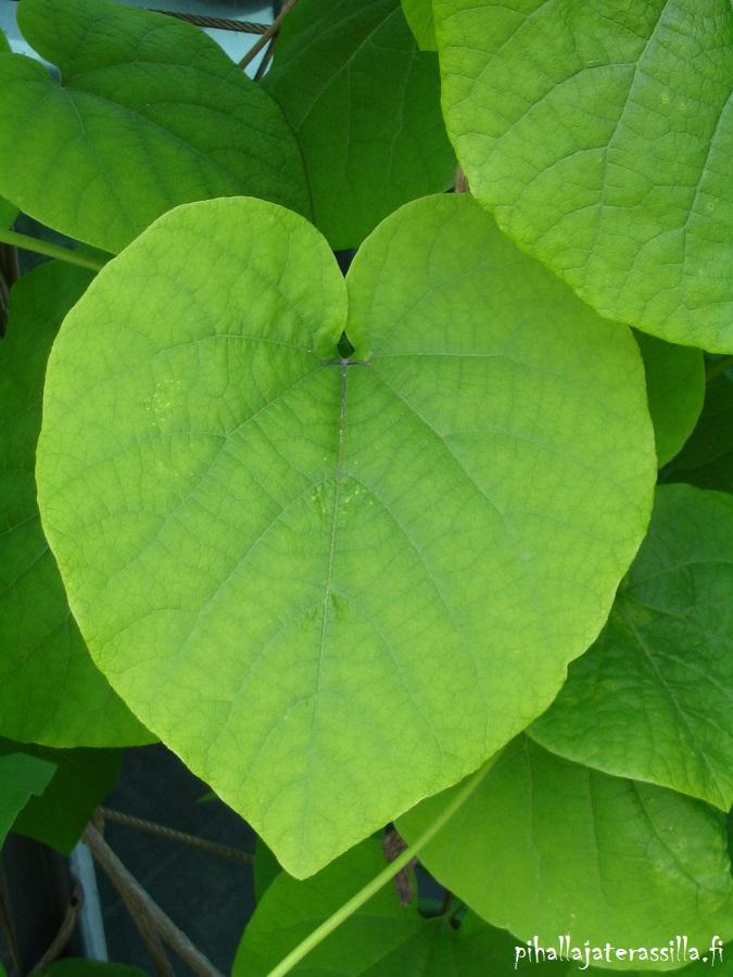 Piippuköynnös viihtyy varjossa, jossa sen sydämen malliset vihreät lehdet ovat sen suurin koristearvo. Kuvassa yksi iso lehti.