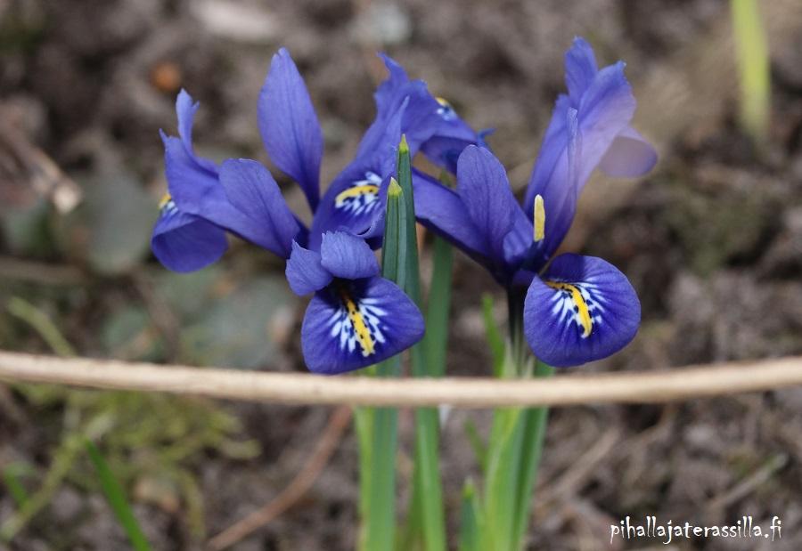 Siniset kukat kuin Pantone 2020 väri