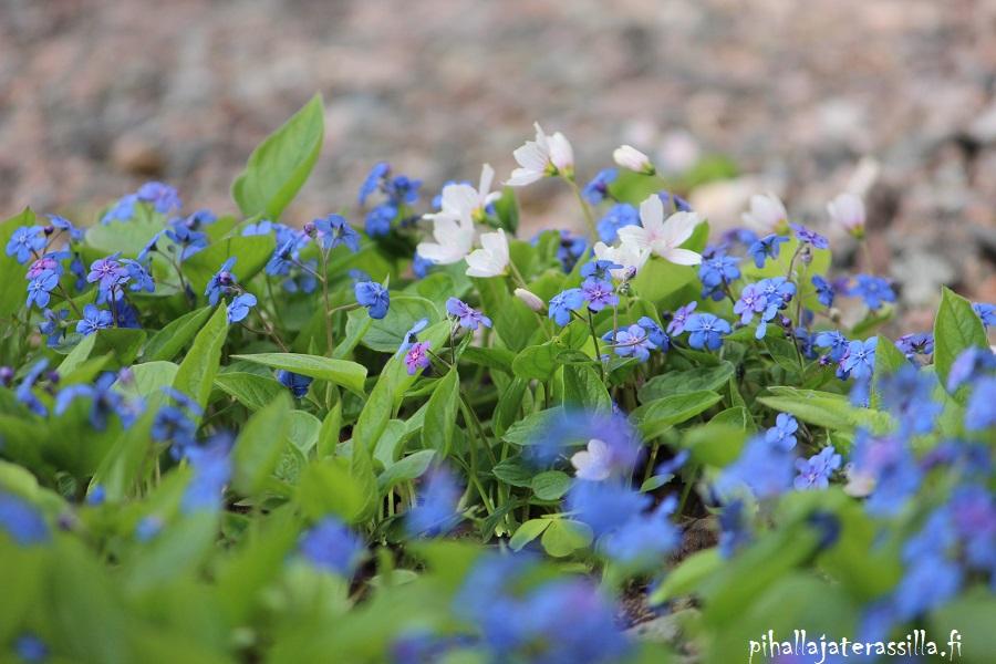 Siniset kukat kuin Pantone 2020 väri klassinen sininen. Kuvassa kevätkaihonkukan mattomainen kasvusto, jossa vihreiden lehtien seassa on sinisiä pieniä kukkia sekä valkokukkaista ketunleipää.