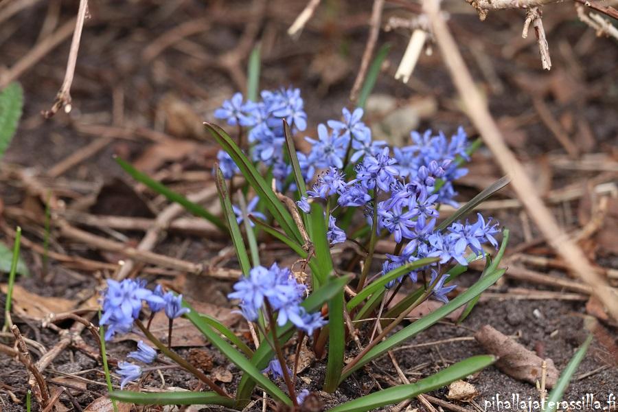 Siniset kukat kuin Pantone 2020 väri klassinen sininen. Kuvassa pieniä sinisiä kukkia tertuissa, kun maa on muuten vielä mullalla. Pikkusinililjat ovat matalia scilloja.