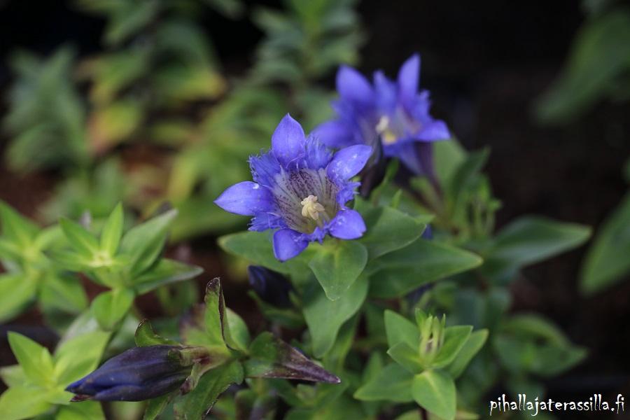 Siniset kukat kuin Pantone 2020 väri klassinen sininen. Kuvassa törmäkatkeron sinisiä kellomaisia kukkia.