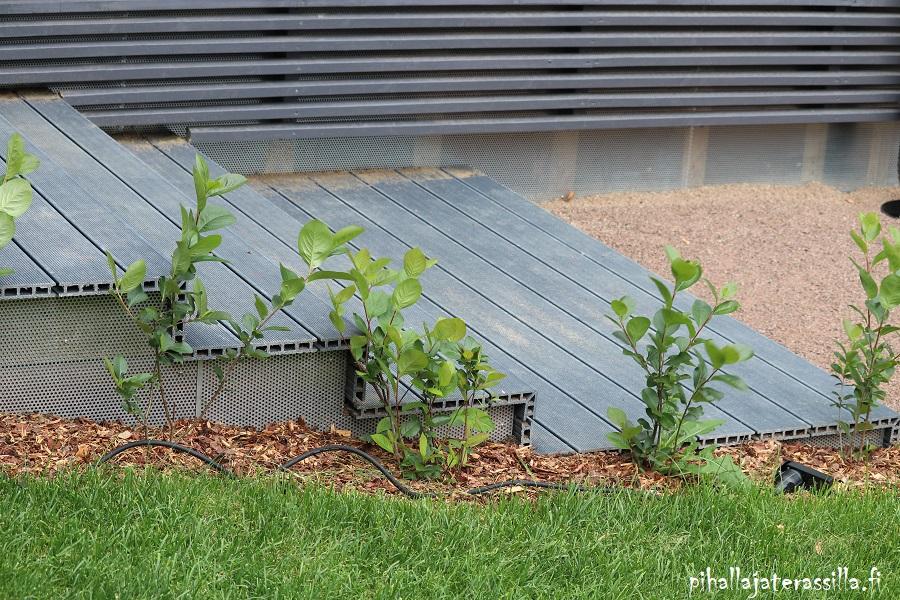 Top5 virhettä pihan suunnittelussa, kasvin tuleva koko unohtuu. Kuvassa aronian taimet on istutettu ihan portaisen reunaan kiinni.