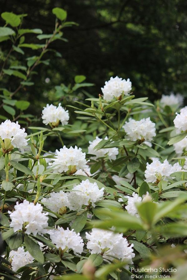Pallomuotoja kukissa on trendikästä. Kuvassa valkoisia pallomaisia kukkaterttuja lehtien seassa