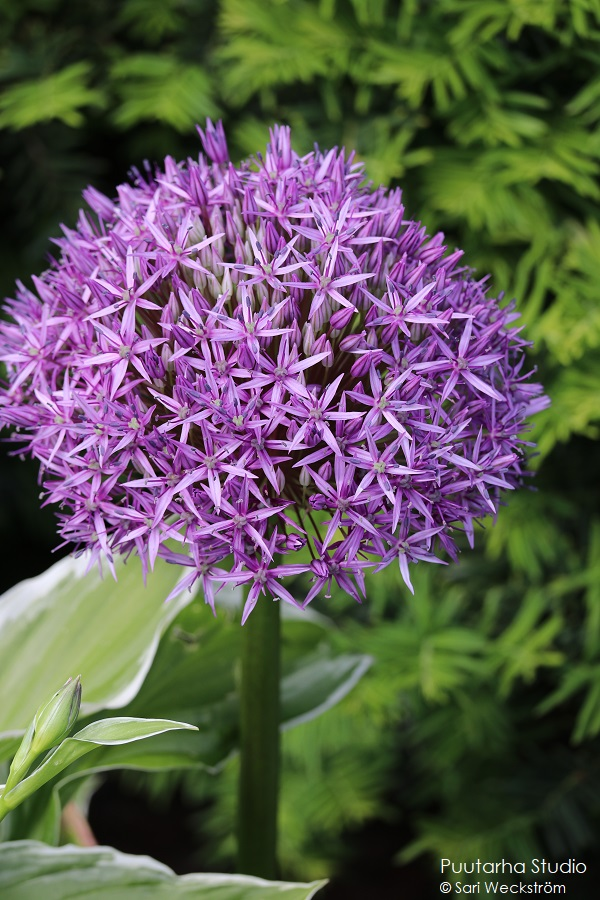 Pallomuotoja kukissa on trendikästä. Kuvassa yksi iso pallomainen kukkaterttu, joka on täynnä pieniä violetteja kukkia.