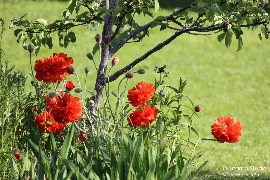 Pallomuotoja kukissa on trendikästä. Kuvassa oransseja pallomaisia unikon kukkia.