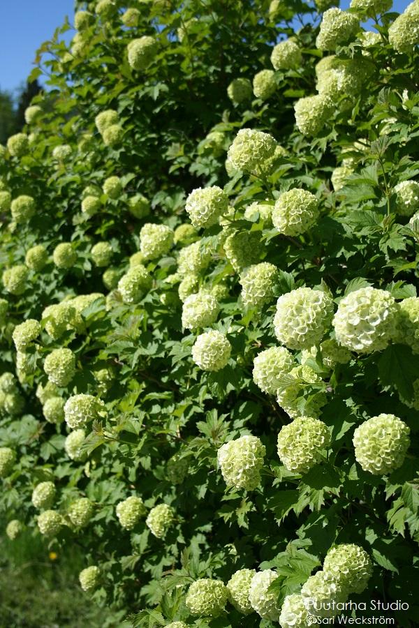 Pallomuotoja kukissa on trendikästä. Kuvassa lumipalloheisi pensaan vihertäviä kukkapalloja lehtien lomassa