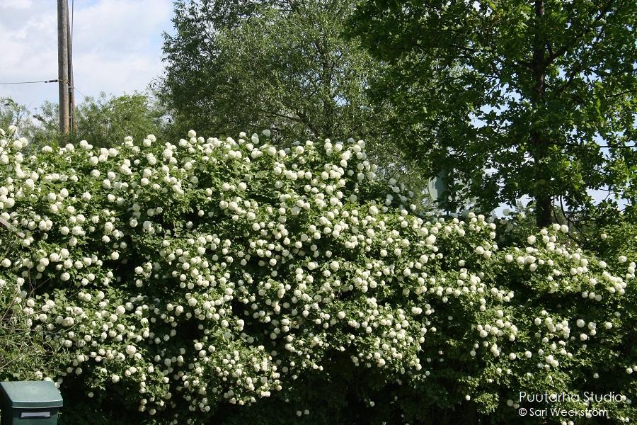 Kuvassa rivi korkeita lumipalloheisiä.  Pensaat ovat täynnä valkoisia kukkapalloja.