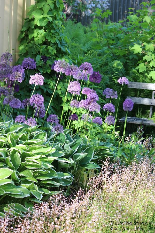 Pallomuotoja kukissa on trendikästä. Kuvassa paljon laukan kukkaterttuja eli kukkavarren päässä on pallomainen kukkaterttu täynnä pieniä liloja kukkia. Näitä on siis paljon.