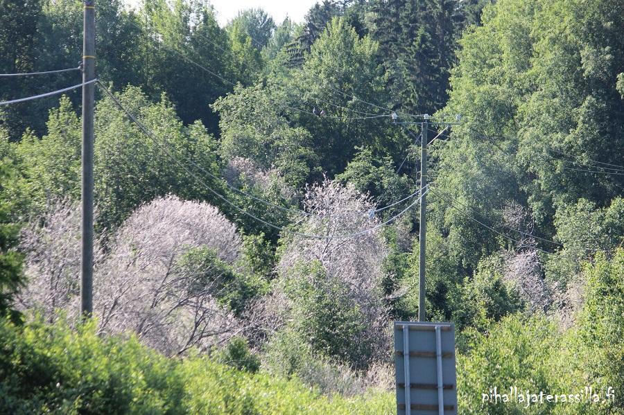 Maisemassa, kesäkuun alussa, erottuu harmaan seitin peittämiä aavepuita, kuten kuvassa vihreyden keskellä. Ne saanut aikaan tuomenkehrääjäkoit