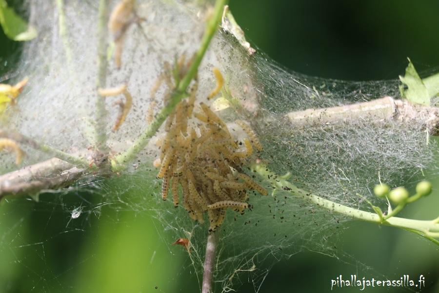 Sopiiko tuomi pihalle vai onko se parempi unohtaa pihapuuna? Tuomenkehrääjäkoin vaaleat toukat syövät tuomesta lehdet. Toukat ovat tehneet seittiä ympärilleen.