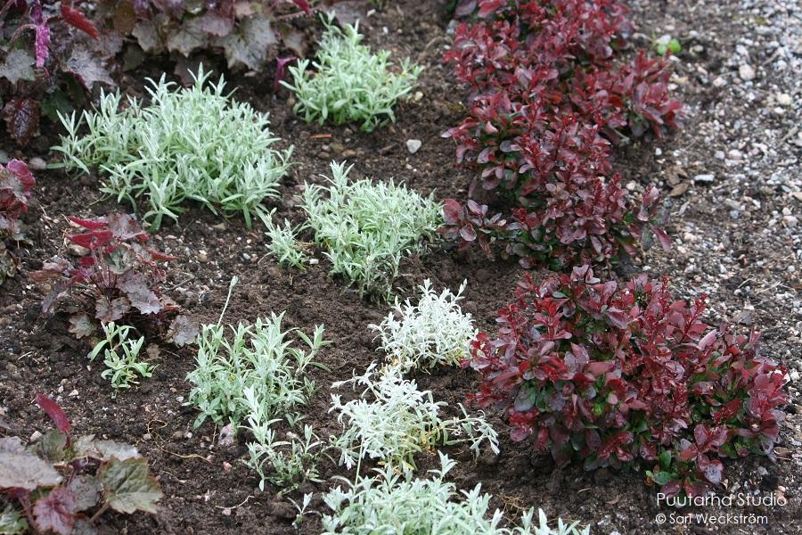 Kuvassa hyvin tummanviininpunaisia matalia pensas- ja perennamättäitä sekä harmaalehtistä hopeahärkkiä.