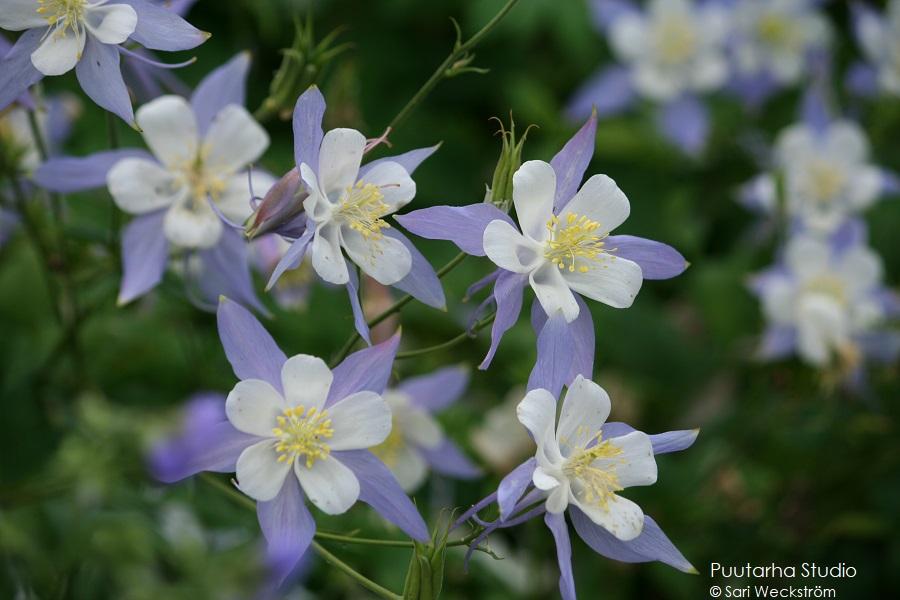Värien valintaa pihasuunnitelmaan ja kasviryhmien suunnitteluun. Kuvassa akileijan kukkia, joissa vaaleansinistä ja valkoista sekä heteet keltaiset.