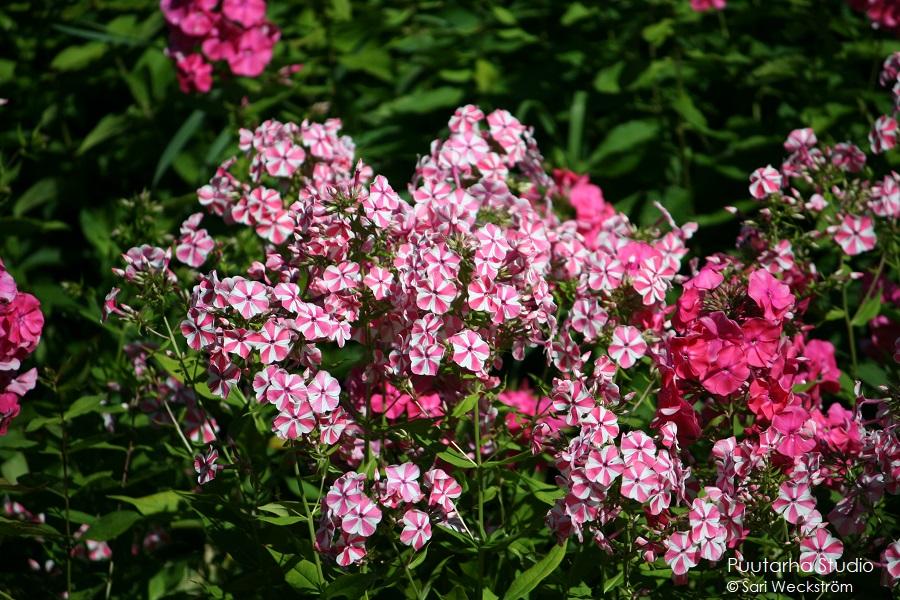 Värien valintaa pihasuunnitelmaan ja kasviryhmien suunnitteluun. Kuvassa vaaleanpun-valkea kirjavaa sekä punakukkaista syysleimua.