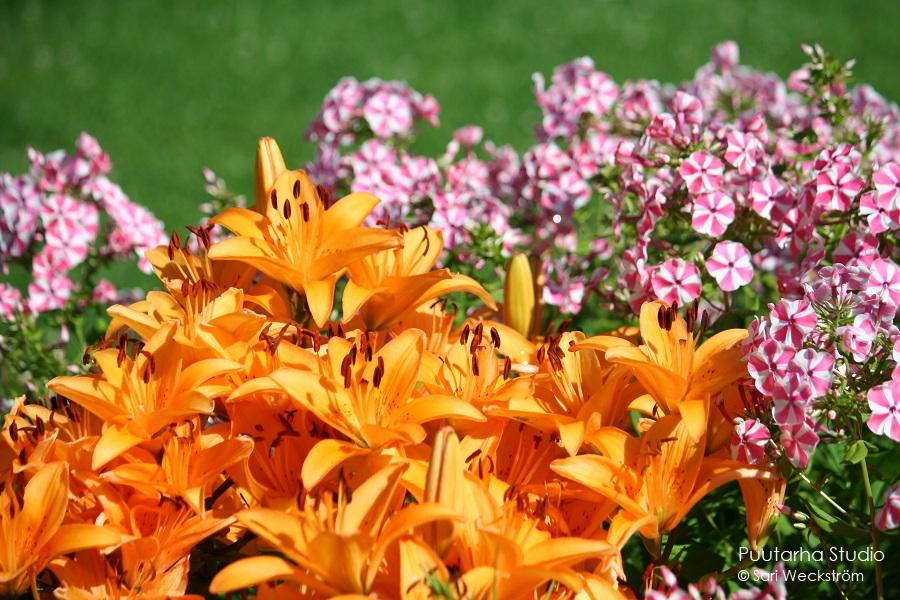 Värien valintaa pihasuunnitelmaan ja kasviryhmien suunnitteluun. Kuvassa etualalla iso ryhmä oransseja liljan kukkia ja niiden takana valko-vaaleanpunaista syysleimua.