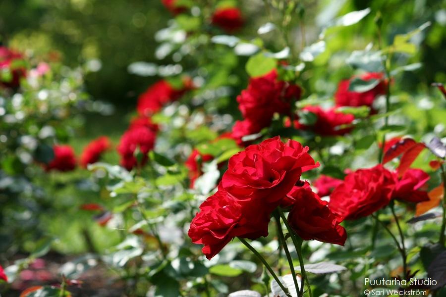 Värien valintaa pihasuunnitelmaan ja kasviryhmien suunnitteluun. Kuvassa voimakkaan punakukkaisia ruusuja ja niiden vihreitä lehtiä.