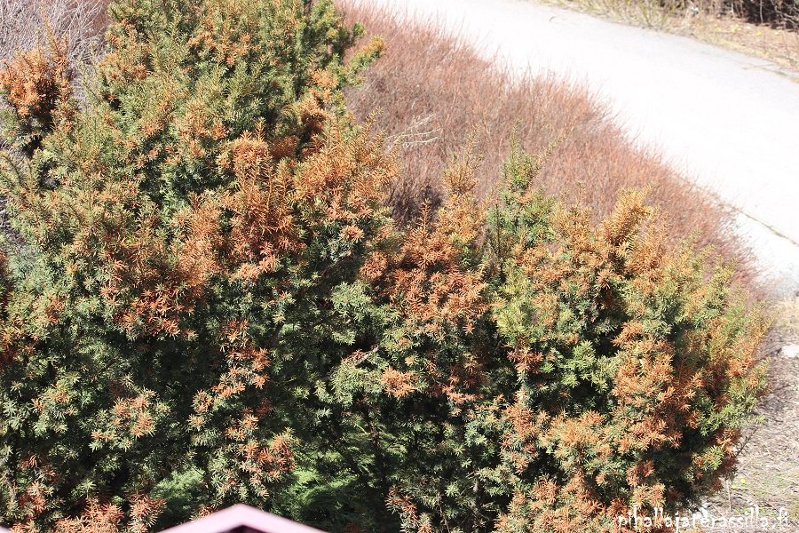 Valitse havukasvit kasvupaikan mukaan eli kuvan marjakuuset eivät kestä aurinkoisella paikalla kevättalvella. Kuten kuvassa aurinko vioittaa versoja ruskeiksi.