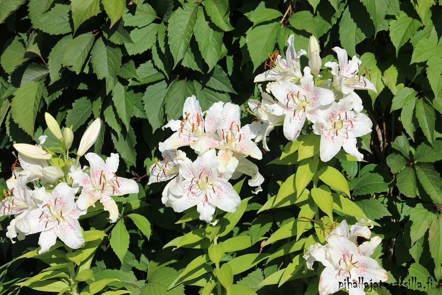 Vanhalle pihalle perinnekasveja vai ei? Kuvassa modernimpi uusi jaloste eli oriental liljoja valkokukkaisena.